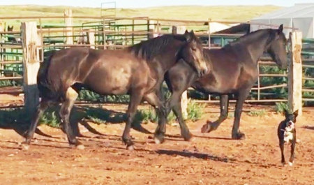 Pocket, Quarter Horse Cross Filly for sale in North Dakota