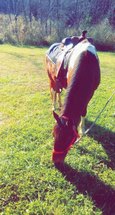 Tex, Spotted Saddle Gelding for sale in North Carolina