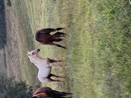 Swag, Missouri Fox Trotting Horse Stallion for sale in Missouri
