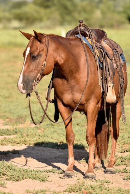 CDT FLETCHS CAT, American Quarter Horse Mare for sale in Texas