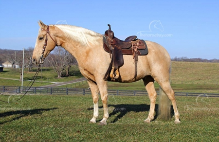 Chalks Sundust , Tennessee Walking Horses Gelding for sale in Kentucky