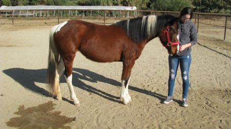 Rare 3 yo Filly Sorrel American Paint Medium Quarter Pony, Quarter Pony Filly for sale in California