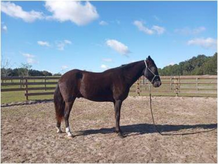 Sampson 10 Year Old Tennessee Walker   Professional Riders Only!, Tennessee Walking Horses Gelding for sale in Florida