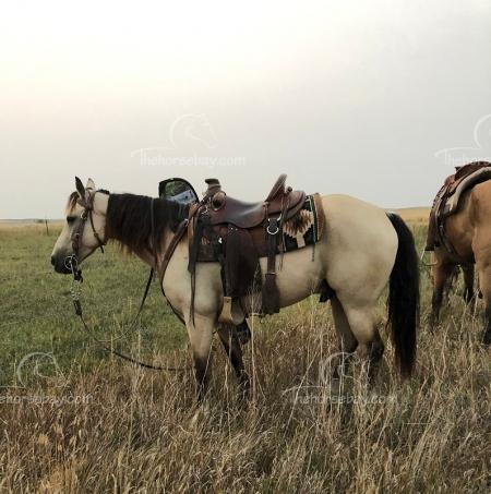 Bailey, Missouri Fox Trotting Horse Gelding for sale in Utah