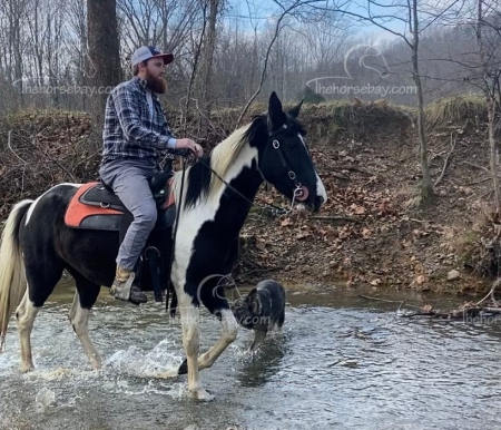 Whisky, Tennessee Walking Horses Mare for sale in Kentucky