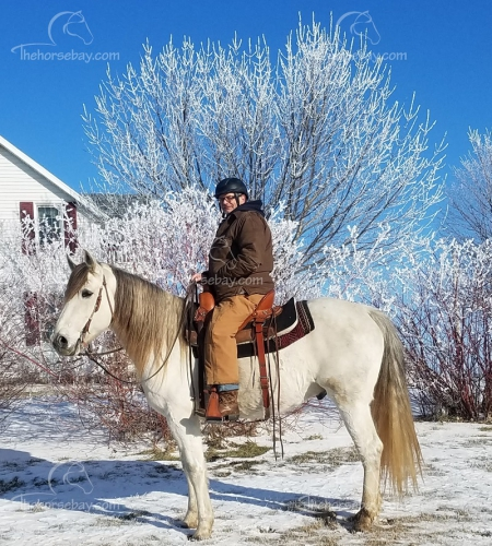 Playboys Casseys Blue aka Jet , Missouri Fox Trotting Horse Gelding for sale in Minnesota