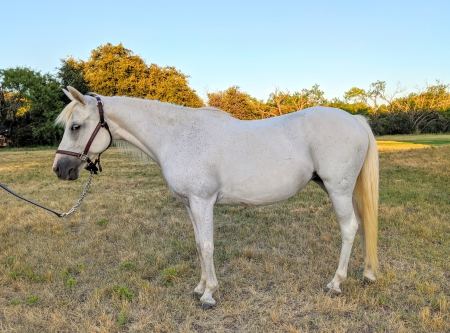 Paloma, Ponies Mare for sale in Texas