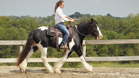 15.1+HH, 7year old, Black and White, Gypsy Vanner & PtHAA, Gelding for sale , Gypsy Vanner Gelding for sale in Colorado