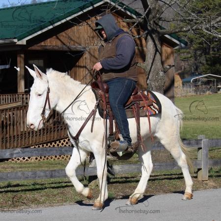 Dewey Cox - Gaited Trail Mule Gelding, Mule Mule for sale in Kentucky