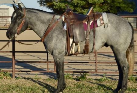 Quarter Horse gelding, American Quarter Horse Gelding for sale in Texas