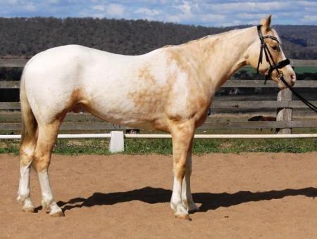 Appaloosa Palomino gelding, Appaloosa Gelding for sale in Texas