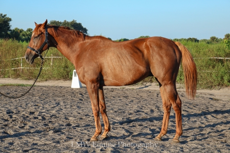 Red Treasure- HART, Thoroughbred Gelding for sale in Florida