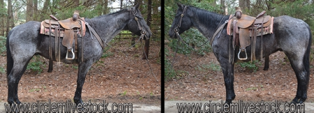 CH MITE BLUE ROPER, American Quarter Horse Gelding for sale in North Carolina