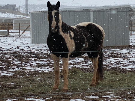 Dimples, Tennessee Walking Horses Mare for sale in Colorado
