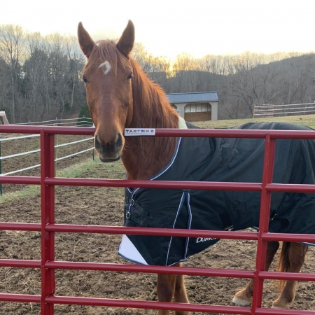 Tayo, Tennessee Walking Horses Gelding for sale in Virginia