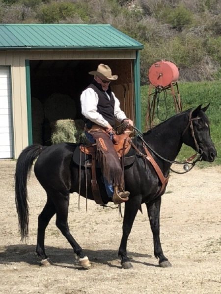Bogs, Arabian Gelding for sale in Montana