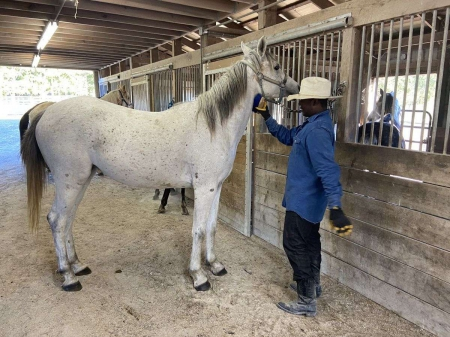 Aaronn, Arabian Gelding for sale in Arkansas