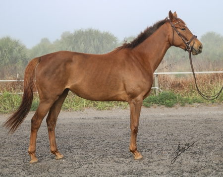 Patronus-HART, Thoroughbred Mare for sale in Florida