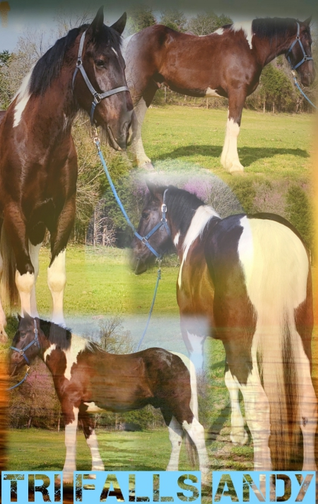 TRI FALLS ANDY, Spotted Draft Gelding for sale in Missouri