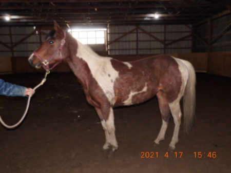 SBS MISS CONTINENTAL , American Paint Horse Association Mare for sale in Ontario