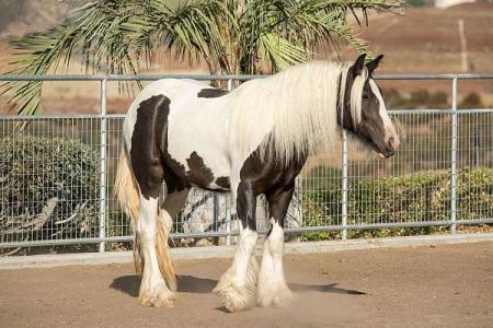 Kingo, Gypsy Vanner Stallion for sale in Nebraska