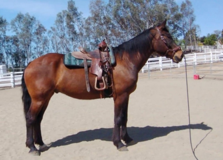 Thunder - Canadian Warmblood Jumper for Sale , Canadian Horse Gelding for sale in California