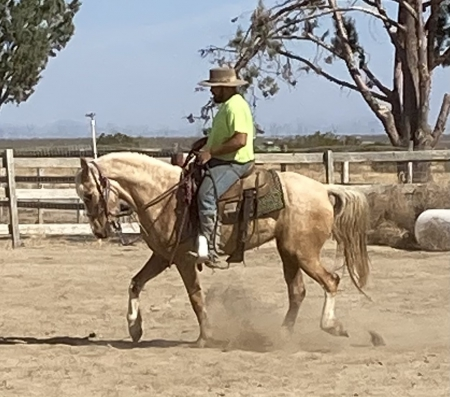 Charm, Kentucky Mountain Saddle Horse Mare for sale in California
