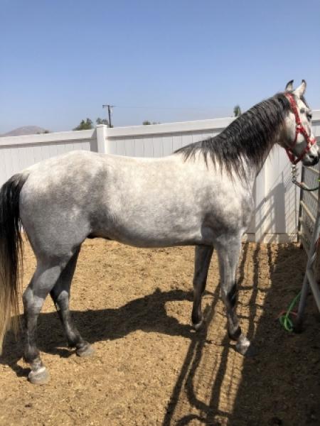 Wyatt, Tennessee Walking Horses Gelding for sale in California