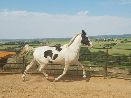 khemosabi Gladiator, Spotted Saddle Gelding for sale in Colorado