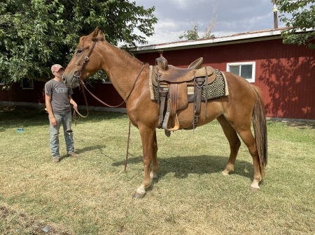Sadie, Tennessee Walking Horses Mare for sale in California