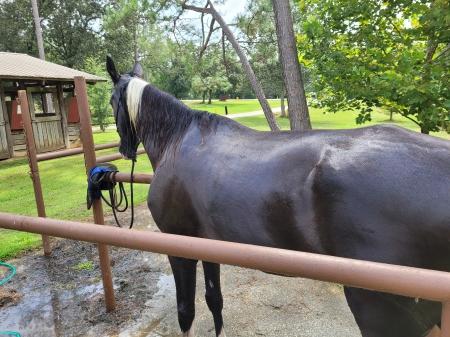 Parker, Spotted Saddle Gelding for sale in Florida
