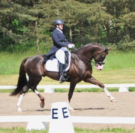 Reg, Irish Sport Horse Gelding for sale in Florida