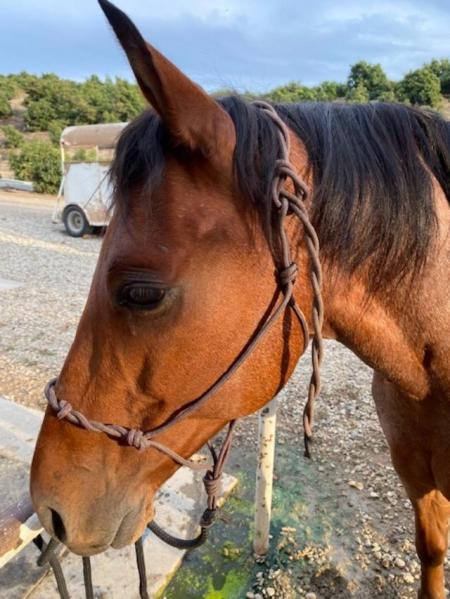 Dom, American Quarter Horse Gelding for sale in California