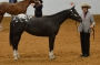 Fancy Its Up To Ypu, Appaloosa Filly for sale in Utah