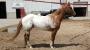 Power Forward aka Reno, Appaloosa Gelding for sale in Utah