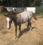 Aly Belle, American Quarter Horse Filly for sale in Oklahoma