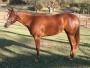 Cool Infatuation, American Quarter Horse Mare for sale in Alabama