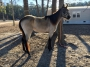 Abby, Other Filly for sale in South Carolina