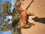 Freckles Fancy Mate, Appaloosa Mare for sale in Texas