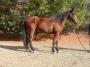 Hillbilly Deluxe, Racking Horse Gelding for sale in Virginia