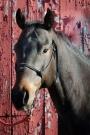 Chill, American Quarter Horse Gelding for sale in Illinois