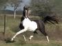 HOT JAMAALII, Arabian Gelding for sale in Texas
