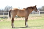 Poblana Princess, American Quarter Horse Filly for sale in Ohio
