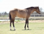 Poco Kelto Scooter, American Quarter Horse Filly for sale in Oklahoma
