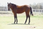 Smarty Whiz Chic, American Quarter Horse Filly for sale in Oklahoma