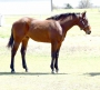Time To Doc, American Quarter Horse Gelding for sale in Oklahoma