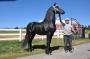 Adam, Friesian Stallion at Stud in South Carolina