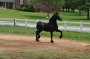 Ringo, Friesian Stallion at Stud in South Carolina