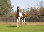 GLF Aur Raging Heart, Half-Arabian Filly for sale in California