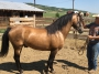 Triple S Cardona, Morgan Stallion for sale in Colorado